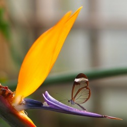 etsy:  Wow. Incredible Photos of the Beautiful Glasswinged Butterfly at My Modern Metropolis.
