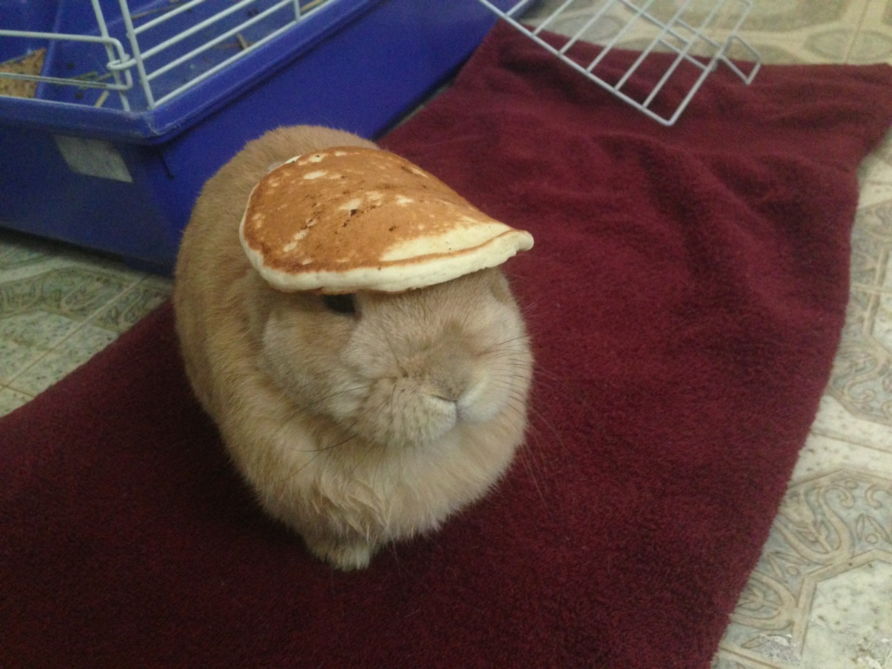 apreciouslife:  stuffonmyrabbit:  Pancake  This tumblr… ^^^^^^^^^