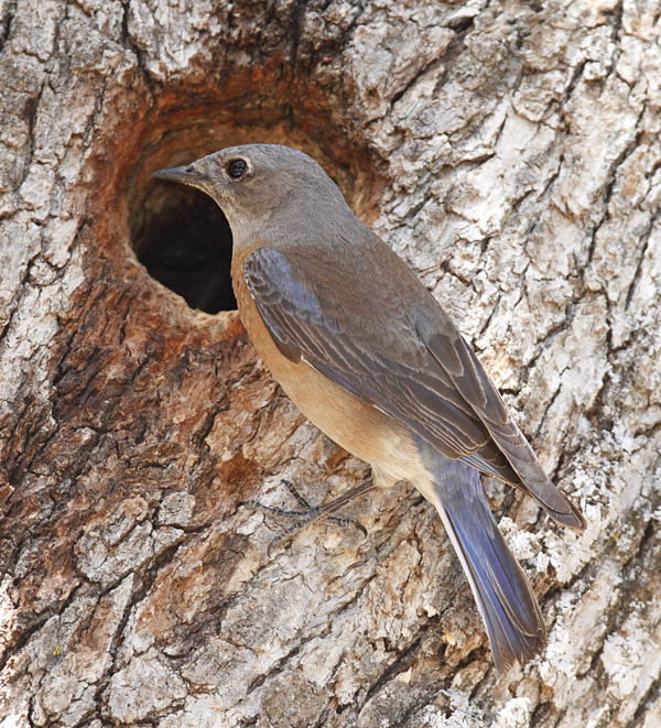 Female Eastern Bluebird (Alan Vernon.)