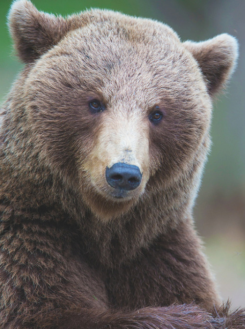 nature-madness:  Brown Bear | Jamen Percy