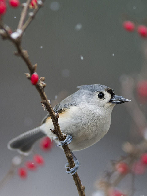 a seed and berries with snowflakes by maia bird on Flickr.