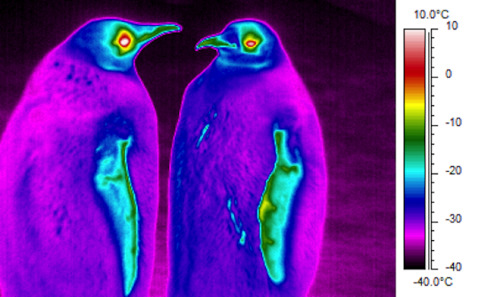 "wnycradiolab:  Penguins are colder than their surroundings, turns out.  Bonus: psychedelic penguin pics. (via Wired Science)  Just goes to show you how efficient an insulation system penguins have developed. With outer temperatures reaching -40˚ F they are still able to maintain a body temperature above 100˚ F! Also file this under ""doing 'shrooms in Antarctica""."