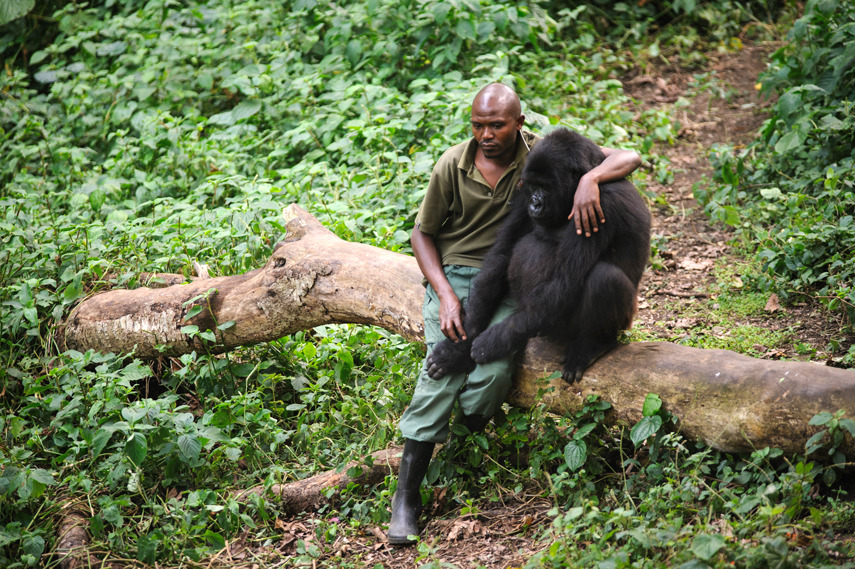 sirmitchell:   Patrick Karabaranga, a ranger at the Virunga National Park in eastern Democratic Republic of the Congo, sits with an orphaned mountain gorilla  Over 140 rangers have been killed protecting the park since 1996.
