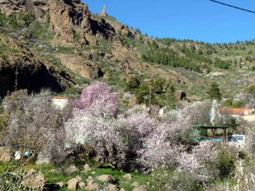 More almond trees blooming away around the Ayacata area in Gran Canaria on a sunny winter day … Just beautiful! #1Pic1Memory