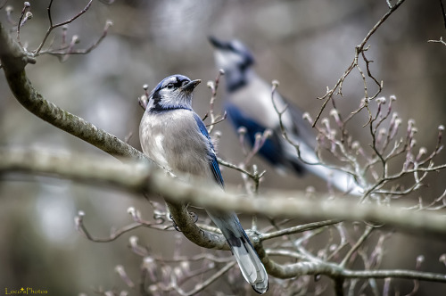 animal-obsession:  Bluejay Bokeh - loco's photos