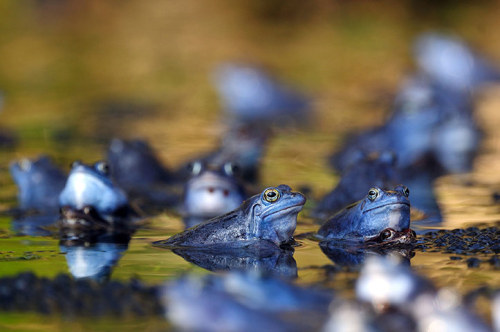 Moor frogs (Rana arvalis) temporarily turning blue at the Ljubljana Marshes, Slovenia. It is thought that males turn blue during the mating season so they can quickly distinguish males from females among the dense frog populations. Photograph: Luka Esenko/Rex Features