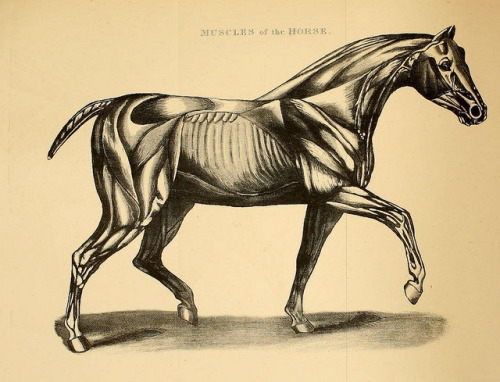 Muscles of the Horse by BioDivLibrary on Flickr. Rural life described and illustrated, in the management of horses, dogs, cattle, sheep, pigs, poultry, etc. etc. :.London ;London Printing and Pub. Co.[between 1868 and 1888].biodiversitylibrary.org/page/20715423