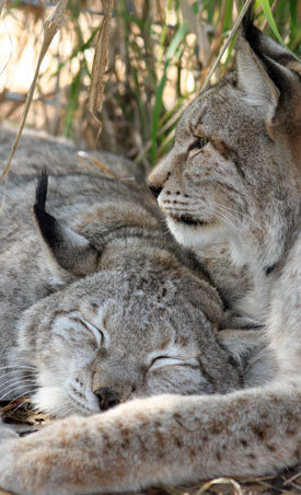 Natasha the Siberian lynx and her BFF, Willow, from Big Cat Rescue