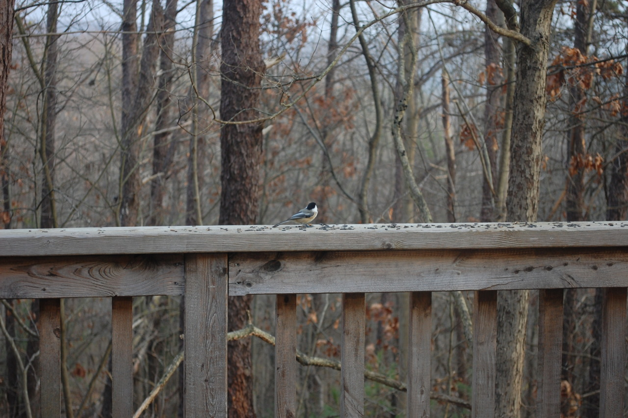 December 18, 2012 A single Chickadee is seen on the porch of the intern house, The Roost. —photo by Edward Sinnes