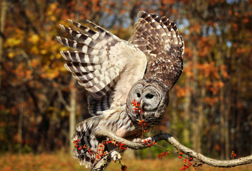 owlday:  Barred Owl
