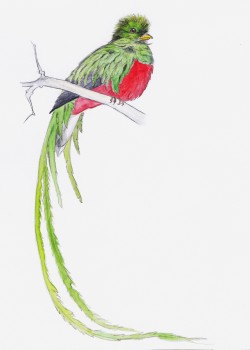 adrien-gaudin:   Quetzal - Watercolor painting