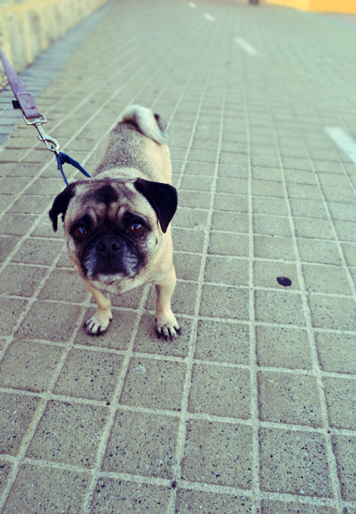 I'm taking photos of pugs as well as beaches now.