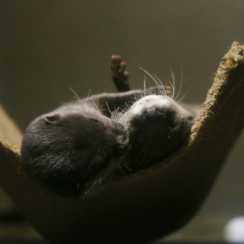 dailyotter:  Otters Have Cuddle Time in Their Hammock Via Beginners' Blog Otter