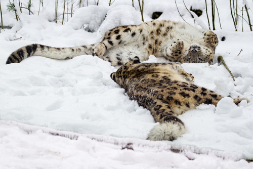 tigersandcompany:  Snow leopards (by Rob House)