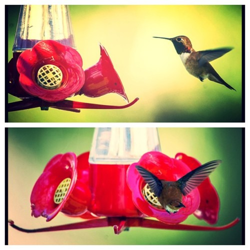 A hummingbird visits a feeder at Delta's Reifel Bird Sanctuary. (Ward Perrin/PNG) #nature #birds #beautifulBC