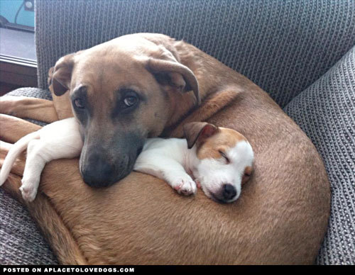 aplacetolovedogs:  Tiny rescue puppy snuggling with her older sister… you're safe here little girl, we're family now! For more cute dogs and puppies