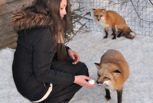 wildlife foxes red fox pet fox exotic pet vulpes vulpes I love foxes fox kits happy fox foxes as pets domestic fox tame fox curious fox friendly fox excited fox beautiful red foxes