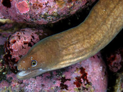 Marbled reef eel (Anarchias seychellensis) (Source)