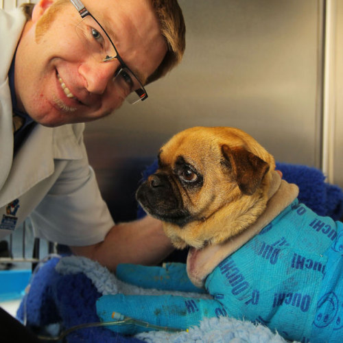 allcreatures:   Veterinary Surgeon Gareth Stephensen cares for Charlie the pug, who has burns to over 50 precent of his body from the Dunalley bushfires, at the Tasmanian Animal Hospital in Hobart  Picture: Richard Jupe/Newspix / Rex Features (via Pictures of the day: 14 January 2013 - Telegraph)