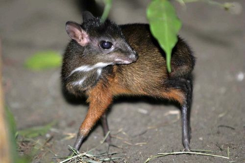 Mouse deer! (From Zooborns)