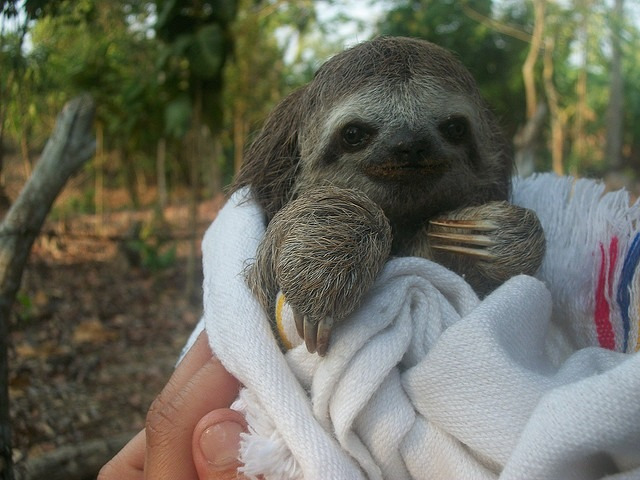 swaddled sloth