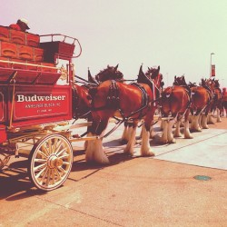 My dear 'ol dad sent me this. Budweiser Clydesdales at the Austin F1 track.