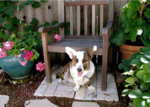 My 12 year old cardigan corgi, Wynston, passed away today. He lived a long, happy life and I will miss him so much!
