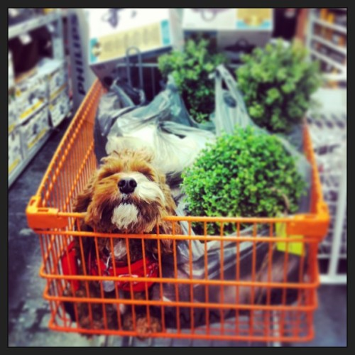 Helping mom prop shop. #georgio #dog #doggram #dogstagram #dogsofinstagram #dogsofvancouver #vancouverdogs #vancouverisawesome #cockapoo