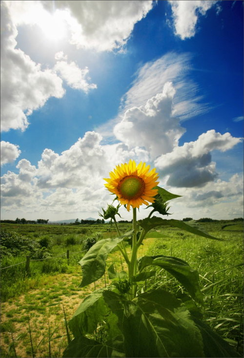 llbwwb:  Sunflower dream by Woosra kim.