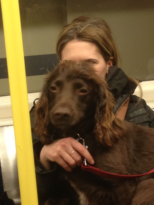 dogsontrains:  Fluffy spaniel. With cadandthedandy on the London Underground - February 2013  Pandora gets spotted on the tube!