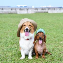 corgiaddict-corgianddachshund-on-friday-we