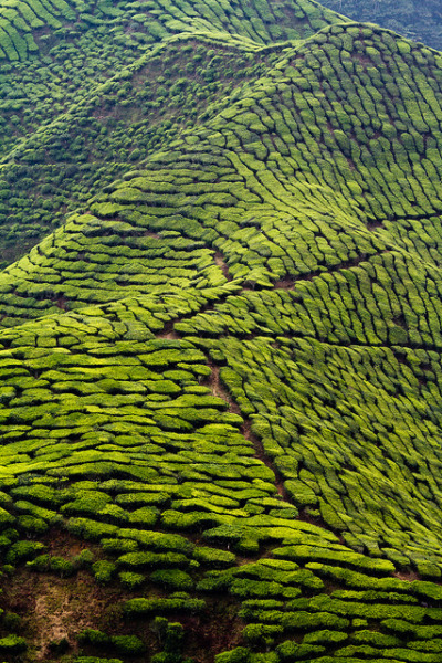 lamescapes:  tea plantations