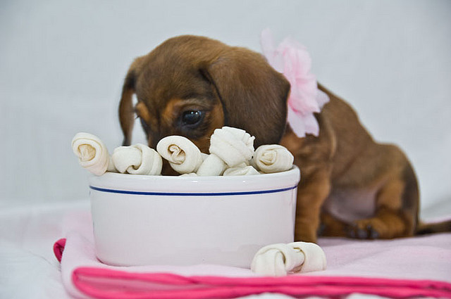 Mini Dachshund Puppy by moreymilbradt on Flickr.