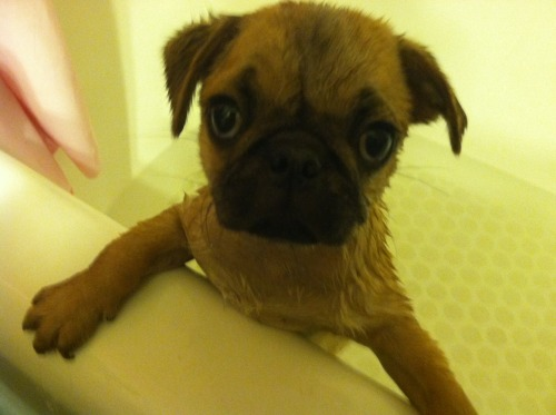 mugsofpugs:  Little Sully's first bath! He was not a happy camper! submitted by letyourredheartshow