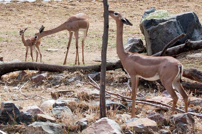 Born with a neck up A gerenuk has been born at the Denver Zoo for the first time . Blossom was born March 6 to parents Woody and Layla, the zoo said in a news release Thursday. A gerenuk is a small antelope from semi-arid areas of eastern Africa.