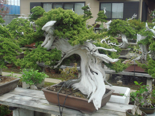 What does a 150 year old Bonsai look like? - Imgur