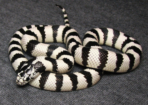 reptiglo:  Wide white banded California kingsnake by RossAZ480 on Flickr. California Kingsnake (Lampropeltis getula californiae)