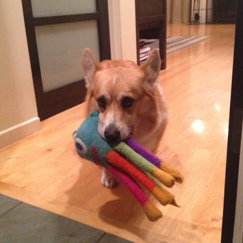 andcorgimakesthree:  Squid #corgi #cute #love #petstagram #corgistagram #igers #dog #photooftheday