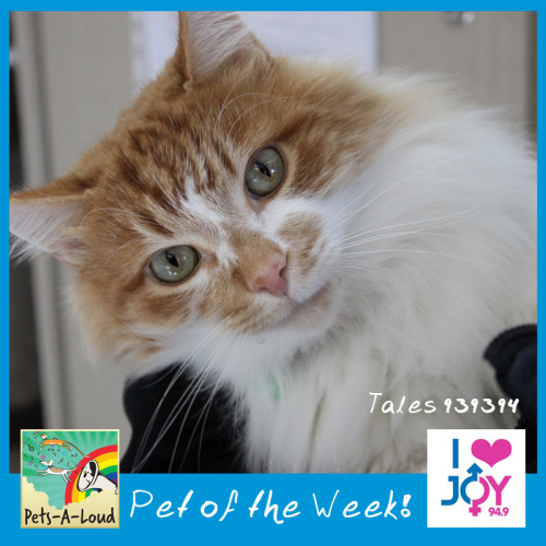 Our gorgeous Joy 94.9 Pets-A-Loud Pet of the Week this week is Tales!! (animal id: 939394)  Tales is an absolutely gorgeous 4 year old ginger and white boy who absolutely loves human affection and isn't afraid to show it. When he's getting lots of pats and cuddles Tales has a habit of drooling everywhere!   He will need to be brushed regularly to keep his coat in a top notch condition.  You can find his full profile on our website at www.dogshome.com