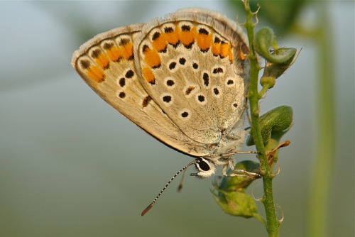 Argus Butterfly (Aricia chinensis, Lycaenidae)  by Sinobug (itchydogimages) on Flickr. Beijing, China  See more Chinese butterflies on my Flickr site HERE…..
