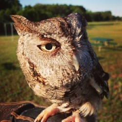 @avianrecon #repost #hadto #cute #owl what kind? Does he only have one #eye? #nature #hunter #followme #igowl #igphoto #smile #supercute #ihashtageverything