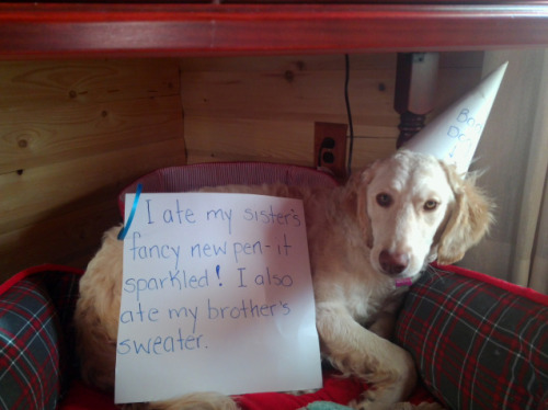 dogshaming:  Dunce Cap Caper  Moosie like to eat….EVERYTHING!  View Post