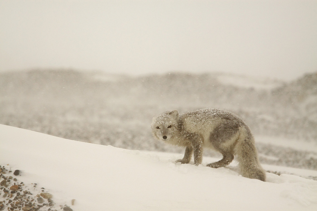 llbwwb:  Arctic fox (by Impisi)