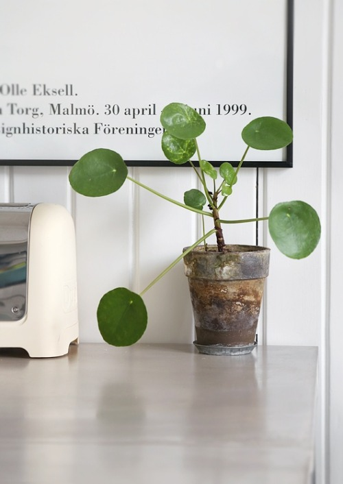 cabbagerose:  pilea perperomioides (chinese money plant) via: metainteriors cabbagerose: …crazy about this guy…