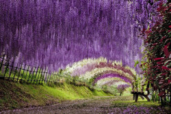 timberpress:  The Wisteria Flower Tunnel at Kawachi Fuji Garden