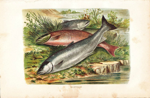 1891  Salmonids Print, Antique Fish Color Lithograph at CarambasVintage http://etsy.me/YIjYvv