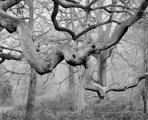 treeroots:  Blenheim twisted bough by DavidO'Brien on Flickr.