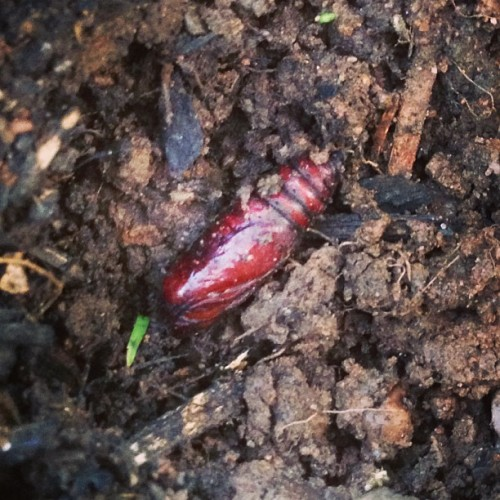 Pretty sure I dug up a #cicada grub while planting some petunias. #bringit! (at Suffern, NY)