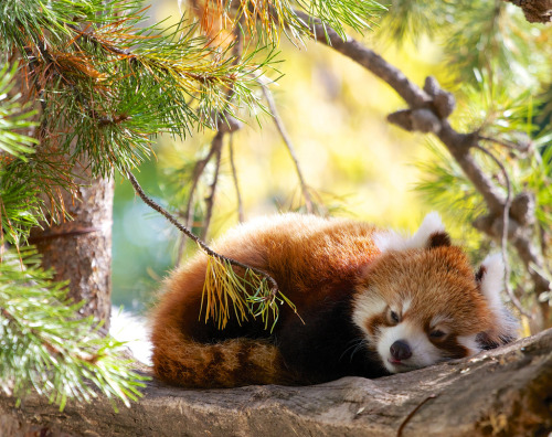 zoologicalwonders:  Sleepy Red Panda by John Andersen