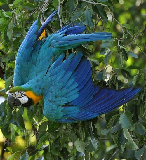 fairy-wren:  Blue and Yellow Macaw. Photo by Tienna